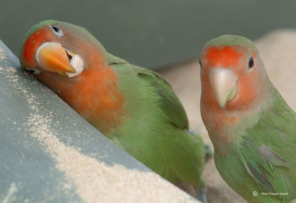 papegaaienliefde