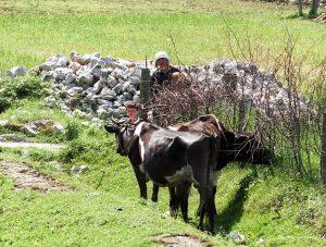 albanian-cattle